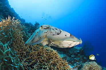 Broadclub Cuttlefish guarding Clutch, Sepia latimanus, Micronesia, Palau