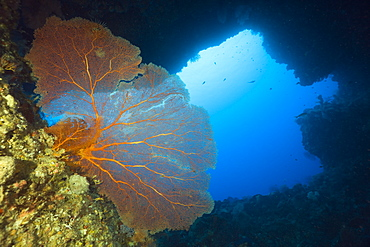 Sea Fan in Siaes Tunnel Cave, Annella mollis, Siaes Tunnel, Micronesia, Palau