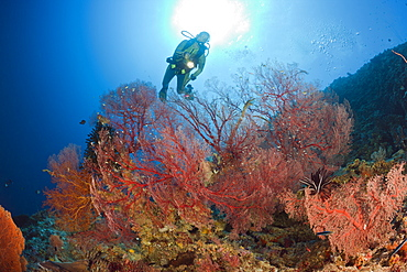 Sea Fan and Diver, Melithaea, Peleliu Wall, Micronesia, Palau