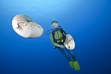 Diver and two Chambered Nautilus, Nautilus belauensis, Micronesia, Palau