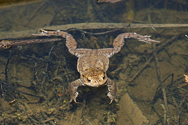 Toad in Biotope, Bufo bufo, Munich, Bavaria, Germany