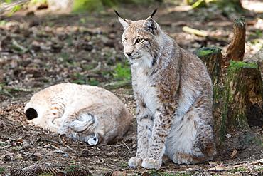 Eurasian Lynx, Lynx lynx, Bavarian Forest, Germany