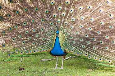 Blue Peafowl, Pavo christatus