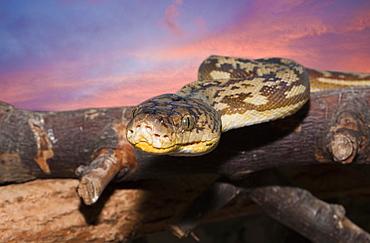 Timor Python, Python timoriensis, Timor, Lesser Sunda Islands, Indonesia