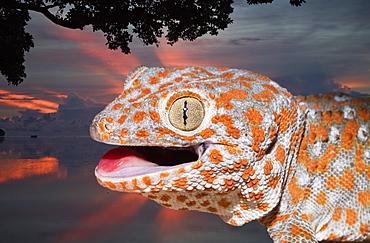 Tokay Gecko, Gekko gecko, West Papua, Misool, Indonesia