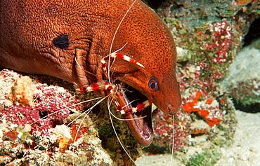 Cleaner shrimp cleaning Yellow-margined moray, Stenopus hispidus, Gymnothorax flavimarginatus, Maldives Island, Indian Ocean