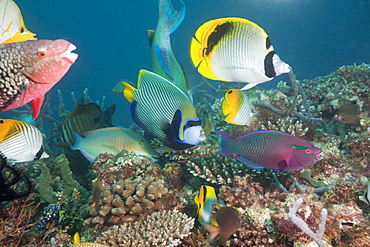 Coralfishes on Coral Reef, North Ari Atoll, Maldives