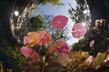Water Lilies in Gran Cenote, Tulum, Yucatan Peninsula, Mexico