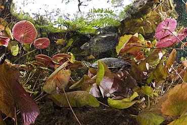 Mesoamerican Slider Turtle between Water Lilies, Trachemys scripta venusta, Gran Cenote, Tulum, Yucatan Peninsula, Mexico