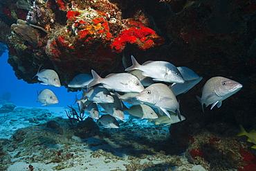 Shoal of Gray Snapper, Lutjanus griseus, Cozumel, Caribbean Sea, Mexico