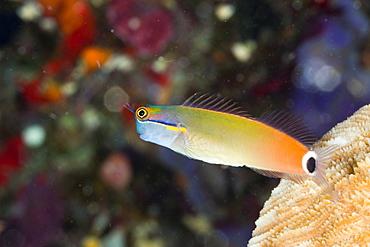 Tail-spot Combtooth Blenny, Ecsenius stigmatura, Raja Ampat, West Papua, Indonesia