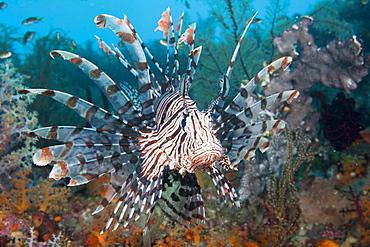 Lionfish, Pterois volitans, Raja Ampat, West Papua, Indonesia