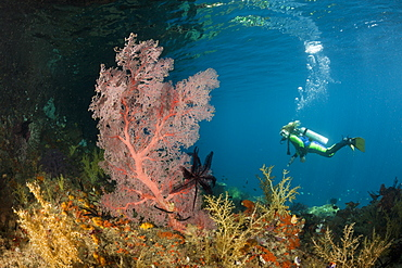 Scuba Diver at Coral Reef, Raja Ampat, West Papua, Indonesia