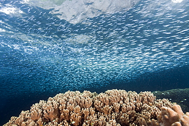 Shoal of Silversides over Coral Reef, Atherinidae, Raja Ampat, West Papua, Indonesia