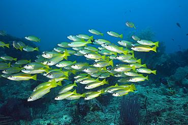 Bigeye Snapper over Coral Reef, Lutjanus lutjanus, Raja Ampat, West Papua, Indonesia