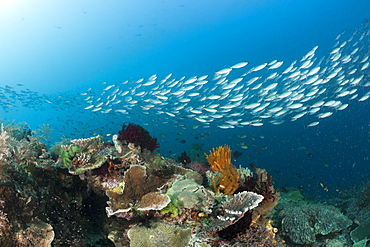 Mosaic Fusilier over Coral Reef, Pterocaesio tesselata, Raja Ampat, West Papua, Indonesia