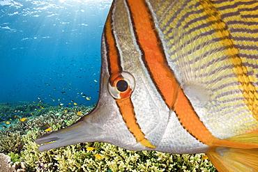 Beaked Coralfish, Chelmon rostratus, Raja Ampat, West Papua, Indonesia