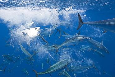 Bonitos (Sarda sarda) hunting sardines (Sardina pilchardus), Isla Mujeres, Yucatan Peninsula, Caribbean Sea, Mexico, North America