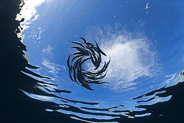 Shoaling sardines (Sardina pilchardus), Isla Mujeres, Yucatan Peninsula, Caribbean Sea, Mexico, North America