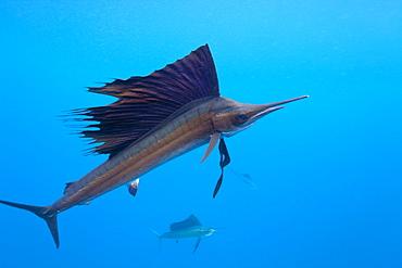 Atlantic sailfish (Istiophorus albicans), Isla Mujeres, Yucatan Peninsula, Caribbean Sea, Mexico, North America