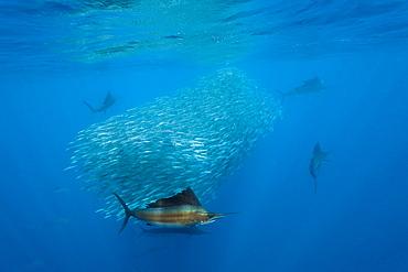 Atlantic sailfish (Istiophorus albicans) hunting sardines, Isla Mujeres, Yucatan Peninsula, Caribbean Sea, Mexico, North America