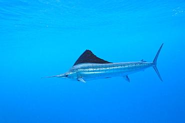 Atlantic sailfish (Istiophorus albicans), Islamorada, Florida Keys, Florida, United States of America, North America