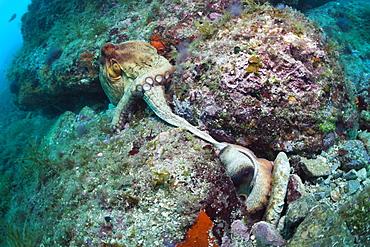 Mating of common octopus (Octopus vulgaris), Cap de Creus, Costa Brava, Spain, Mediterranean, Europe