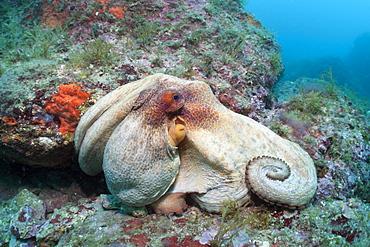 Common octopus (Octopus vulgaris) on reef, Cap de Creus, Costa Brava, Spain, Mediterranean, Europe