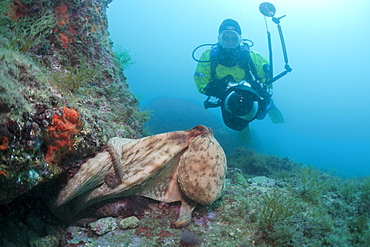 Common octopus (Octopus vulgaris) and underwater photographer, Cap de Creus, Costa Brava, Spain, Mediterranean, Europe