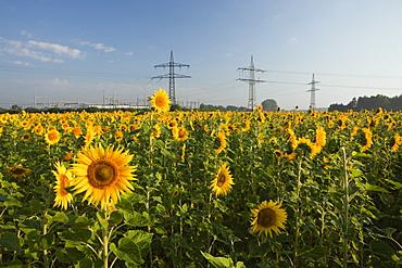 Sunflowers (Helianthus annuus) in field near electricity pylons, Munich, Bavaria, Germany, Europe