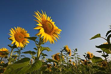 Sunflowers (Helianthus annuus), Munich, Bavaria, Germany, Europe