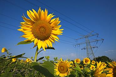 Sunflowers (Helianthus annuus) in field below power lines, Munich, Bavaria, Germany, Europe
