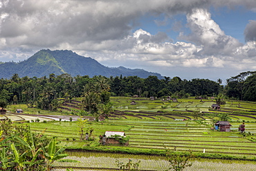Fields of rice, Bali, Indonesia, Southeast Asia, Asia