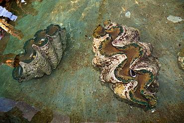 Giant clams (Tridacna gigas) at giant clam farm, Makogai, Lomaviti, Fiji, Pacific