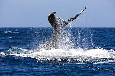 Tail fin of humpback whale (Megaptera novaeangliae), Samana Peninsula, Dominican Republic, West Indies, Caribbean, Central America
