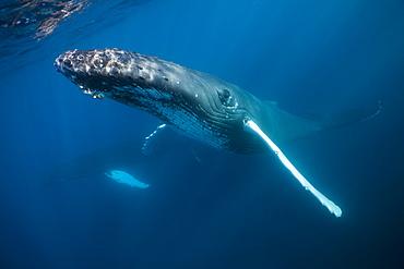 Humpback whale (Megaptera novaeangliae), Samana Peninsula, Dominican Republic, West Indies, Caribbean, Central America