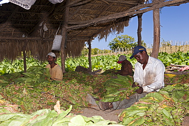 Workers on small tobacco plantation, Punta Rucia, Dominican Republic, West Indies, Central America