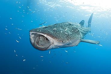 Whale shark (Rhincodon typus), Cenderawasih Bay, West Papua, Indonesia, Southeast Asia, Asia