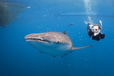 Whale shark (Rhincodon typus) and freediver, Cenderawasih Bay, West Papua, Indonesia, Southeast Asia, Asia