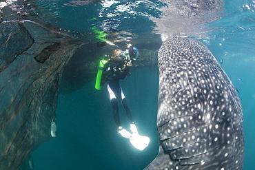 Scuba diver photographing feeding whale shark (Rhincodon typus), Cenderawasih Bay, West Papua, Indonesia, Southeast Asia, Asia