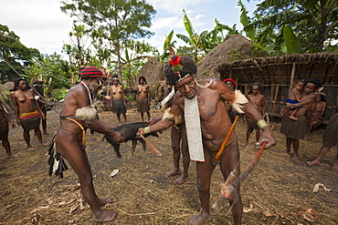 Dani tribe slaughters pig for Pig Festivel, Baliem Valley, West Papua, Indonesia, Southeast Asia, Asia