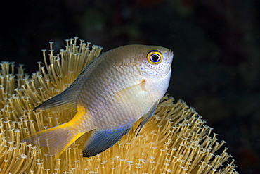 Golden damsel (Amblyglyphidodon aureus), Cenderawasih Bay, West Papua, Indonesia, Southeast Asia, Asia