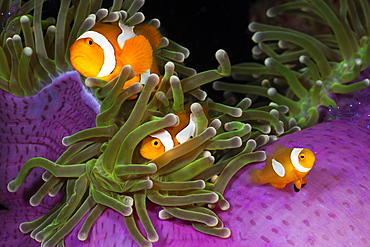 Clown anemonefish (Amphiprion ocellaris) in magnificent sea anemone (Heteractis magnifica), Cenderawasih Bay, West Papua, Indonesia, Southeast Asia,  Asia
