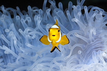 Juvenile clown anemonefish (Amphiprion ocellaris) in bleached sea anemone (Heteractis magnifica), Cenderawasih Bay, West Papua, Indonesia, Southeast Asia, Asia