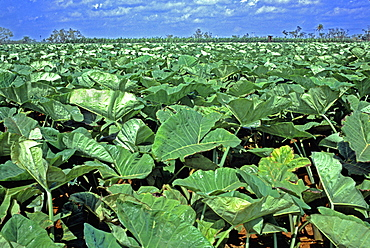 A field of malanga, a root vegetable similar to a yam, on a farm in La Habana Province in central Cuba, Cuba