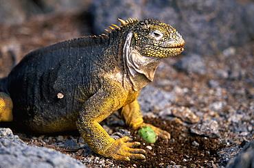 Land Iguana Conolophus subcristatus iguana eating cactus fruit after rolling off thorns on South Plazas Island, Galapagos Islands, Ecuador