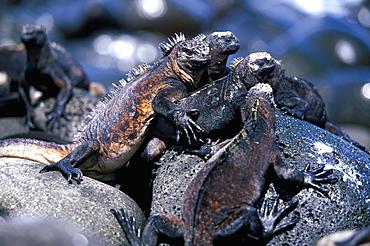 Marine Iguanas, Amblyrhynchus cristatus North Seymour Island, Galapagos Islands, Ecuador
