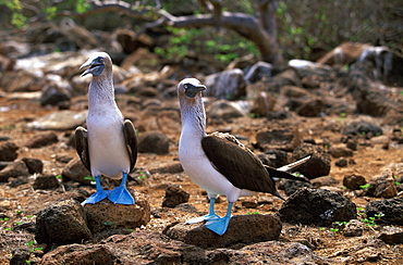 Blue-footed Booby, Sula nebouxii excisa adult pair on North Seymour Island, Galapagos Islands, Ecuador