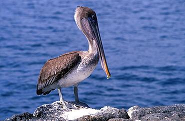 Brown Pelican Pelecanus occidentalis on North Seymour Island, Galapagos Islands, Ecuador