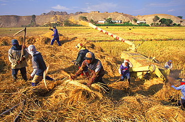 Separating rice from chaff during harvest in fields between Trujillo and Chiclayo a rich area that produces most of Peru's rice, North Coast, Peru